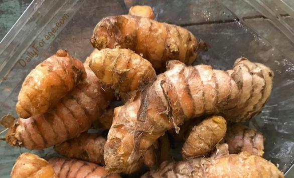 Fresh raw turmeric root, DailyForage.com